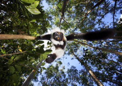 K1_black_and_white_ruffed_lemur