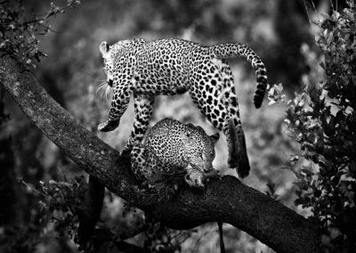 leopard-jump